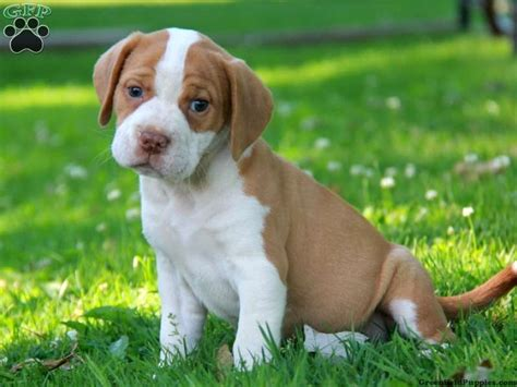 beabull puppies for sale beabull puppies beabull puppy images beabull puppy pictures beabull breeds picture