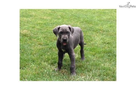 great dane puppies for sale michigan great dane for sale for 1 000 near arbor michigan 26a4d599 fe51