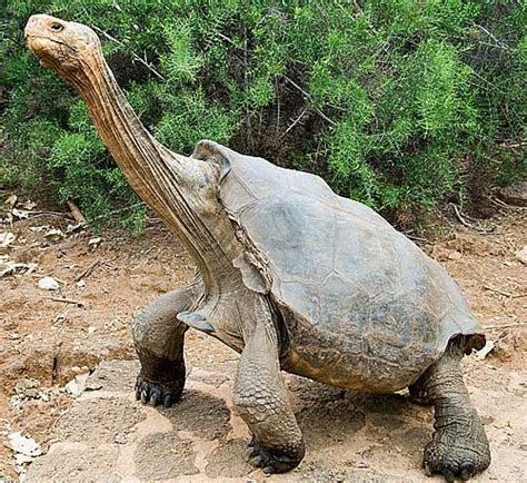 how long should a tortoise heat l be on the gallery for gt the biggest turtle in the world