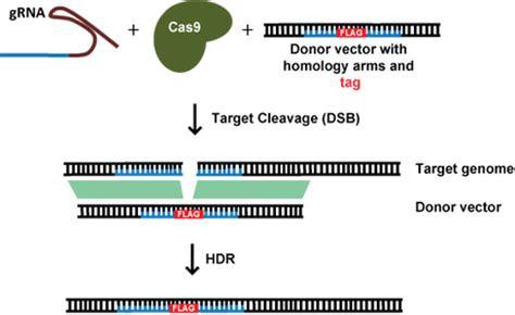 Addgene Crispr Plasmids Protein Tagging Crispr Repair Template