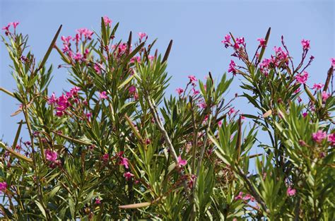 oleander plant what are oleander hardiness zones how cold can oleanders tolerate