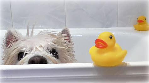 dogs and bathtubs romeo s bath time romeo 183 westie 183 senior dog 183 lovely