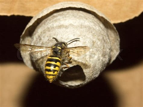 wasp images wasp nest stock photo colourbox