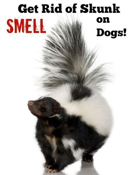 how to get rid of skunks in your backyard 17 best ideas about skunk smell on pinterest skunk spray