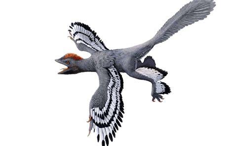 dinosauro volante voici 224 quoi ressemblait vraiment anchiornis le dinosaure