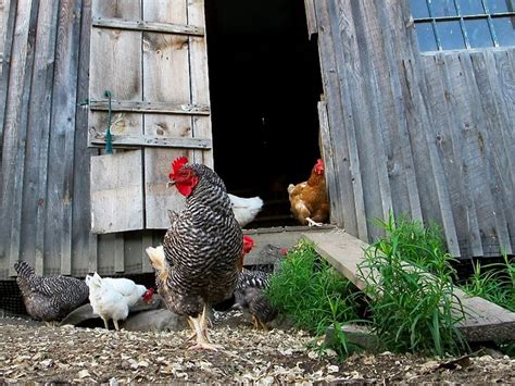 Keeping Backyard Chickens 48 Best Chicken Coups I Just Like The Way They Look Images On Chicken Coops