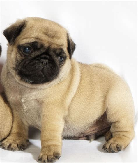 fawn pug for sale fawn pug puppies taunton somerset pets4homes