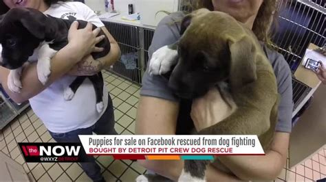 puppies for sale in detroit puppies for sale on rescued from fighting by detroit pit crew wxyz