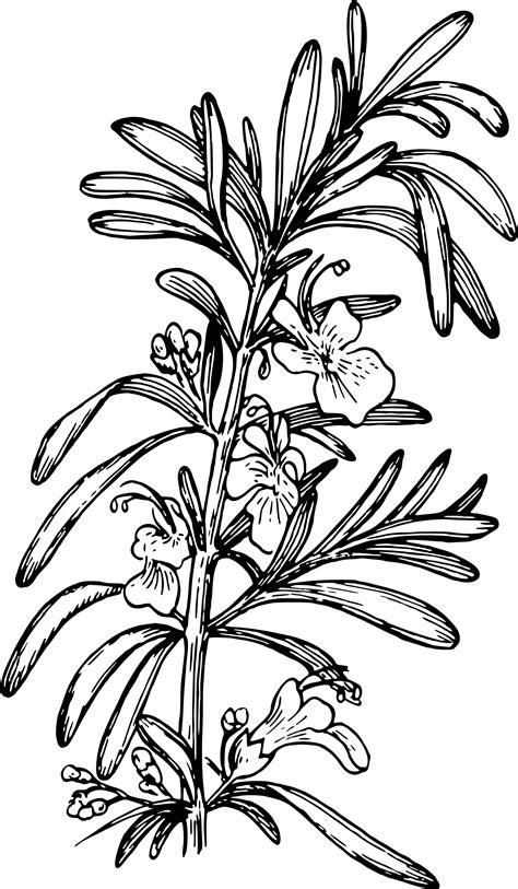Library of rosemary flower picture black and white