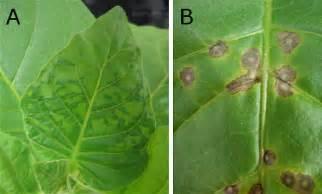 Tobacco Plant Diseases Pictures - tobacco mosaic virus photo howardhumphrey4 s blog