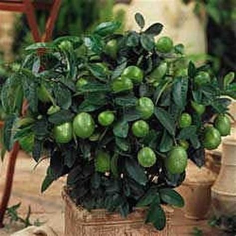 fruit trees indoors lime trees on killing japanese beetles lemon