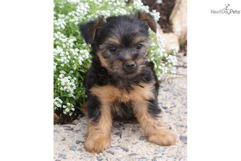 silky terrier puppies for sale silky terrier puppies for sale silky terrier puppies for sale by expert breeders