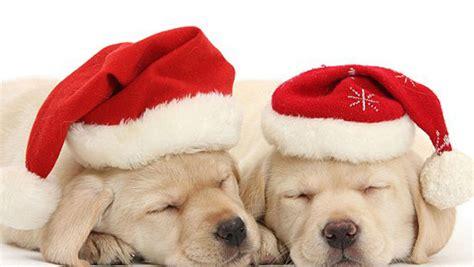 imagenes feliz navidad con perros perritos de navidad imagui