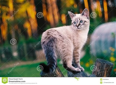 cat on swing tonkinese cat on a wooden swing stock photo image 59038064