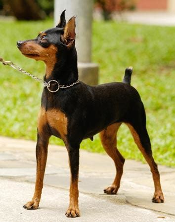 min pin images for canines