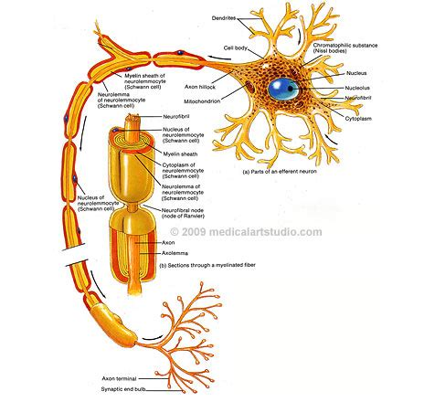 nerve cell diagram nerve nerve cell diagram