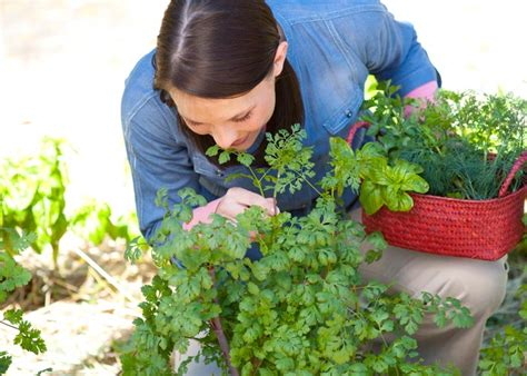 fall herb garden plant these herbs in fall bonnie plants