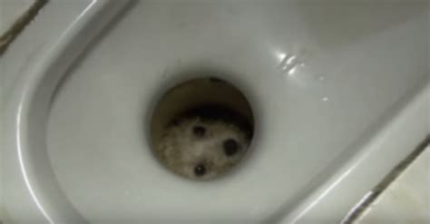 pug stuck in toilet puppy toilet 50 images the grass is always greener inside the house indications