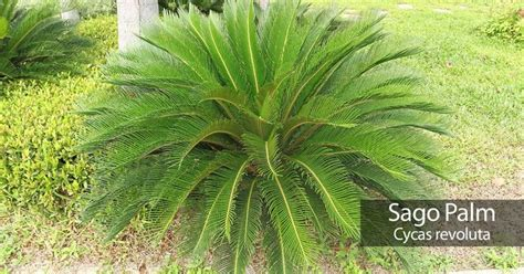 25 best ideas about palm sago palm growing tips images