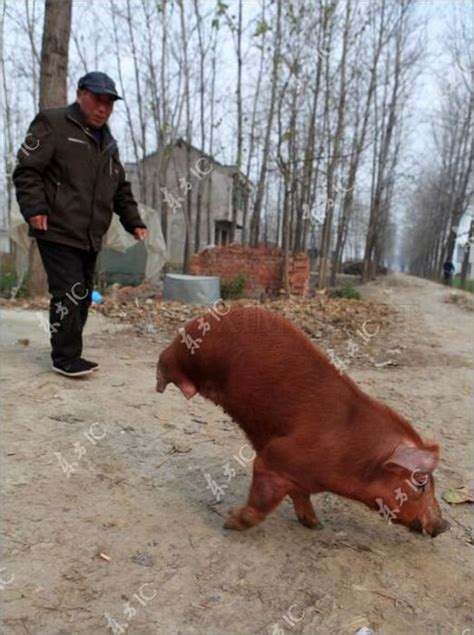 how to to walk on two legs disabled pig learned to walk on two legs animals