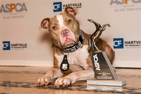 pitbull puppies ny an abandoned shelter became new york s pit bull k9 officer the