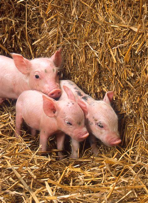 Animal Farm Pig pigs and sheep