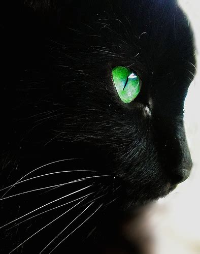 Emerald Black Syari blizzardclan medicine cat den