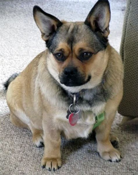 aussie pug mix 16 pug cross breeds you to see to believe