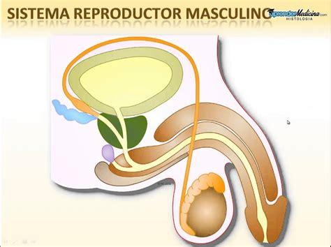 Aparato Reproductor Masculino Youtube | aparato reproductor masculino sistema reproductor