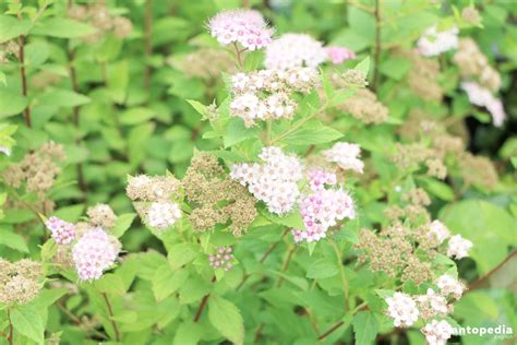 spirea spiraea bushes bridal wreath plant types planting care and pruning plantopedia