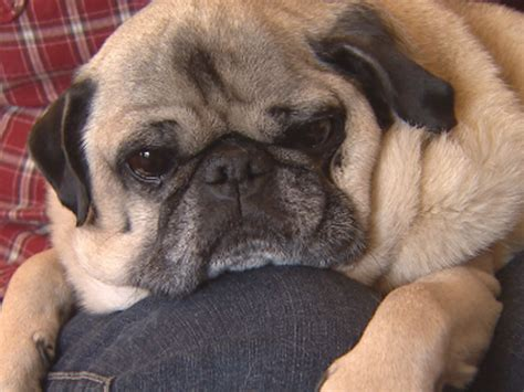 pug rescue san francisco pugs get second chance thanks to dedicated volunteers 171 cbs denver