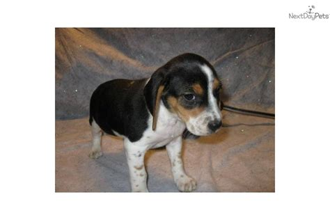miniature beagle puppies for sale meet minnie a beagle puppy for sale for 200 akc registered miniature beagle