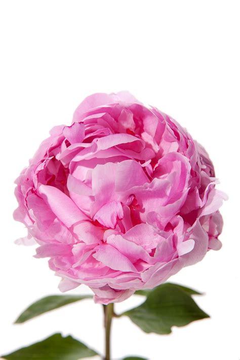 light pink peonies peonies types of flowers flower muse light pink peony in mid bloom peonies pinterest