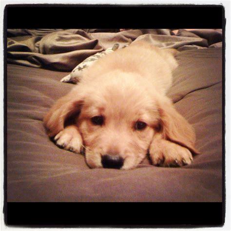 a baby golden retriever baby golden retriever doggie