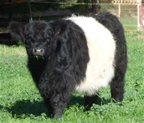 Animal House Absecon by 1000 Images About Beautiful Belted Galloways On