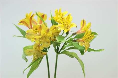alstroemeria fiore alstroemeria giglio peruviano alstroemeria aurantiaca