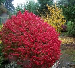 Euonymus alatus poss quot compactus quot backyard garden spaces