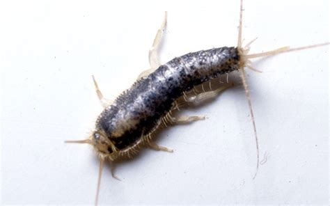 silverfish in bed bed bug flea mite extermination removal termitrust