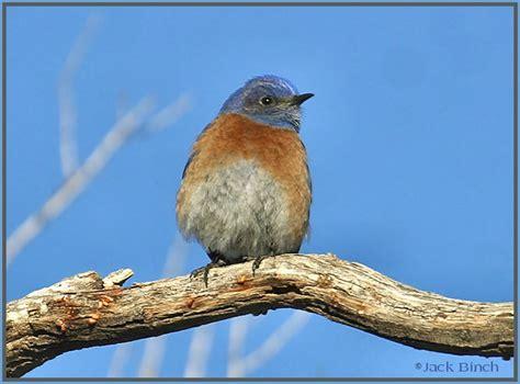 birds of utah western bluebirds near zion national park