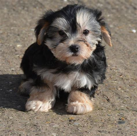 morkies and yorkie poos 28 best images about yorkie poo on poodles