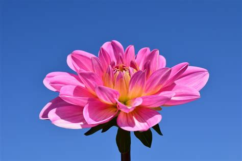 flower bloom free photo dahlia blossom bloom flower free image on