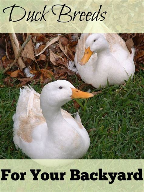 How To Raise Ducks In Your Backyard by Best 25 Duck Breeds Ideas On Duck Coop How