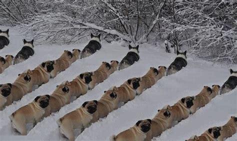 corgi leading pugs corgi s leading an army of pugs to war aww