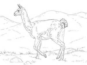dibujos realistas para colorear dibujo de guanaco realista para colorear dibujos para