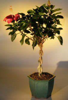 flowering tropical red hibiscus braided trunk(rosa sinensis)