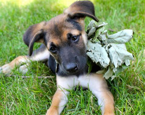 german shepherd pitbull mix puppies for sale raisin the german shepherd mix puppies daily puppy