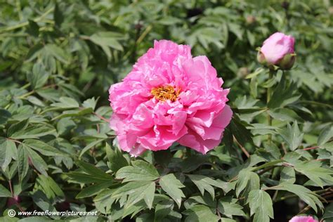 peony plant picture flower pictures 849