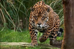 Photo Of Jaguar Jaguar By Alannah Hawker On Deviantart