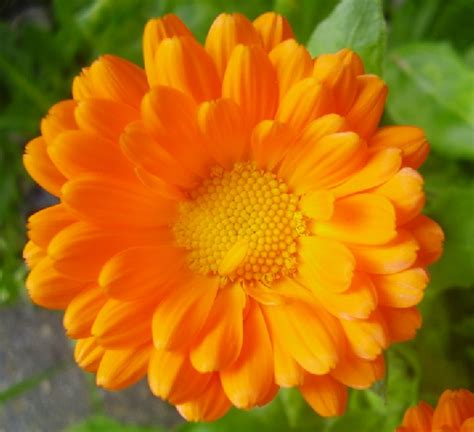 Tanaman Hias Bunga Marigold Berkualitas bibit benih marigold jual tanaman hias