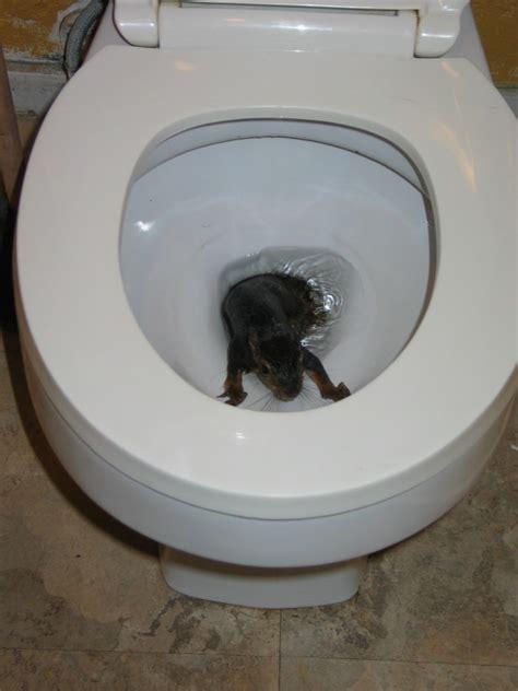 How To Make A Pipe Out Of Toilet Paper Roll - uno scoiattolo 232 emerso dal w c nel bagno di un